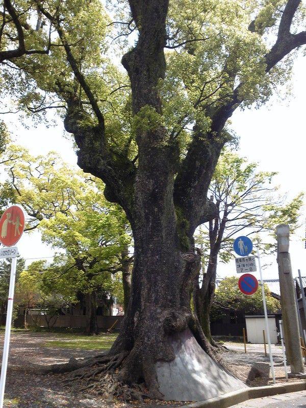 軍神社敷居内の立派な樹木